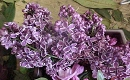Niculina Stoican - Liliac cu flori marunte